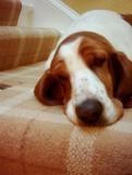 Maya the Basset hound