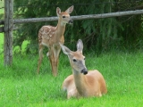 Deer with Bambi