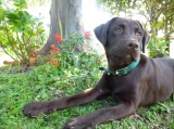 Ceiba, our gorgeous chocolate lab dog - Come to Serenity Vista and let Ceiba join you  on your journey of recovery. She will listen to you and love you unconditionally.