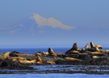 So much more than just whales! - Sea Lions, Seals, Dolphins, Porpoise, Birds - join us to view them all!  We want to give you the best experience possible, so we show you the most possible!<br /><br />Come experience the rugged West Coast with SpringTide.  The Marauder IV is not only comfortable, but goes fast too!  Her 360 degree walk around viewing decks provide the best visibility for you.  There are in