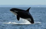 Killer Whales - We have three Southern Resident Killer Whale Pods in Victoria - almost 90 whales all together!  Let us show them to you on our daily awesome excursions!