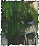 10' Weeping Willow Cat Tree