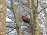 Rooster in Tree - Rooster roosting in a tree