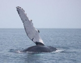 Humpback whale fin - This humpback seems to be waving hello.   It is doing a common behavior called pec slapping, or pectoral fin slapping.