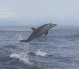 Dolphin Joy! - A juvenile Pantropical dolphin playing in our boat wake.