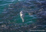 Harbour seal eating