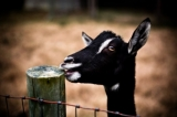 "Goats - This is Naomi Campbell, one of our many celebrity's here on the farm.  Come and see her and plenty of other Celebrity's at the Goat ""Hilton""aka our barn.<br />Photograph by Lora Smith"