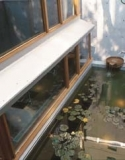 Lily pond, with many gold fish and koi.
