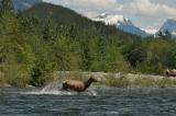 Elk, Nimpkish River